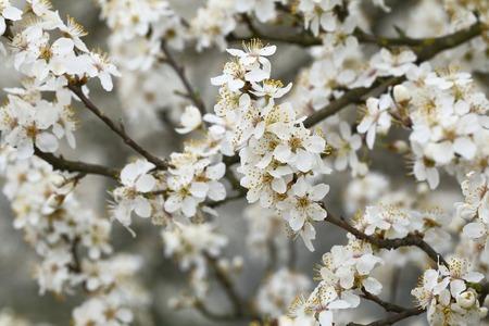 Flowers of Prunus cerasifera