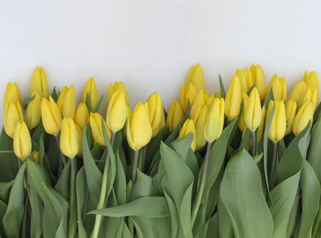 Yellow tulips on white
