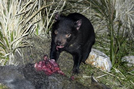 tasmanian: Tasmanian Devil