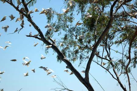 cockatoos: cacatua in carawine gola, australia occidentale Archivio Fotografico