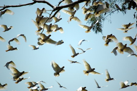 cockatoos: cockatoos in carawine gorge, western australia Stock Photo