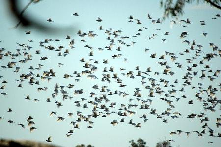 cockatoos: cacatua in carawine gola, western australia