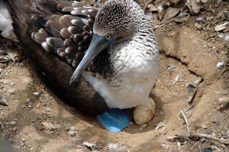 booby: bird sanctuary Isla del muerte, Ecuador
