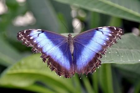 morpho menelaus: Mariposa azul morfo