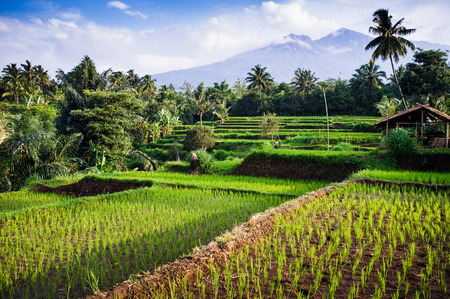 indonesia people: Rice fields, background Mt. Rinjani, Senaru, Lombok, Indonesia, Southeast Asia, Asia Stock Photo
