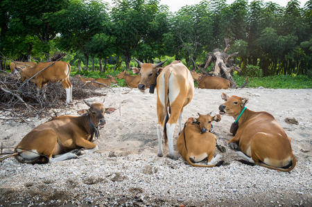 cattle at island Sumbawa, Indonesia photo