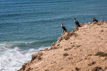 carbo: cormorant cormorants Phalacrocorax carbo maroccanus scenery Atlantic coast sea coast