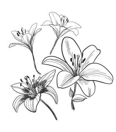vector, bosquejo, ilustración, diseño, elementos, planta, lirio