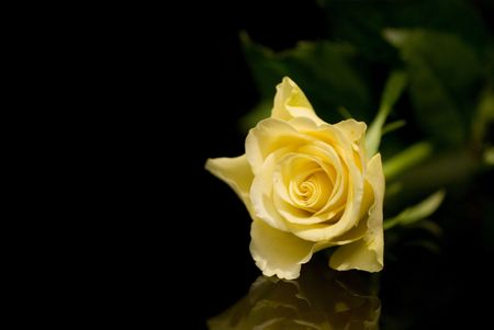 solitaire: solitaire yellow rose in black mirror