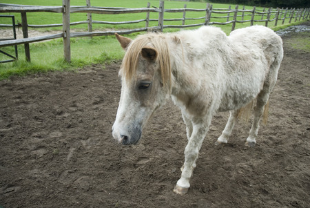 light brown horse: old white-brown horse  Stock Photo