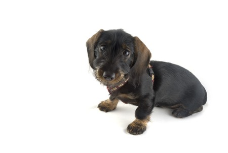 dachshund as a Little puppy  photo