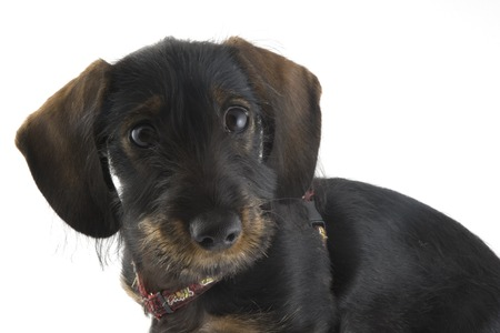 puppy dachshund in the studio Stock Photo - 1684046