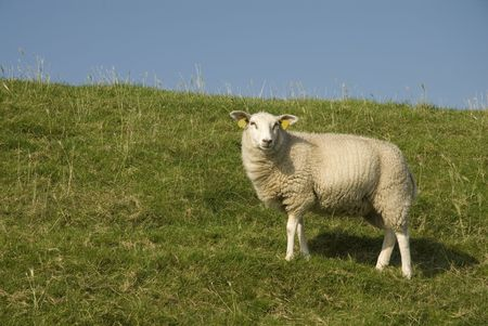 dike: white sheep on the dike from grassland