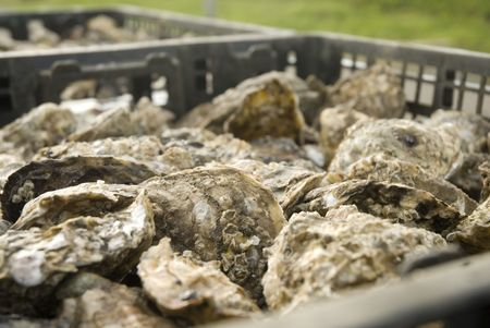 famous industries: oysters in a container