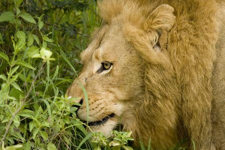 Head of a male lion