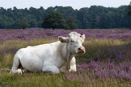 heathland: white cow in purple heathland
