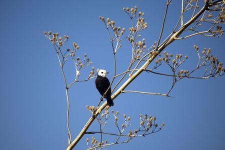tyrant: White headed Marsh tyrant in tree Stock Photo