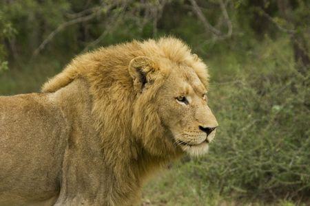 dangereux lion mâle de brousse Banque d'images - 2823445
