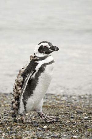 walking penguin near the water coast line photo
