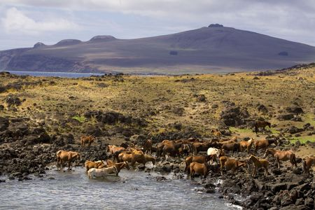 easter island: Landscape of easter island with wild horses