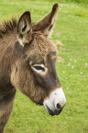 head of a brown donkey photo