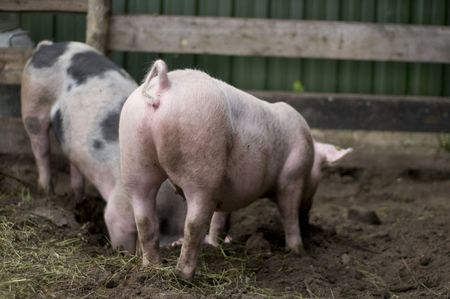 rout: biological pigs drudging in the mud