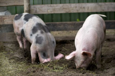 rout: Natural biological pigs in the mud Stock Photo