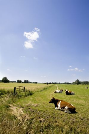 Dutch landscape with brown and white cows in the farmland photo