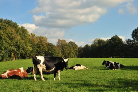 cattle cows in the green grass outdoor Stock Photo - 3702743