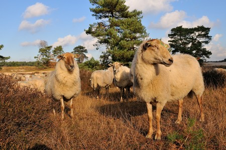 Herd with many sheep in heathland photo