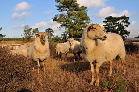 heathland: Herd with many sheep in heathland