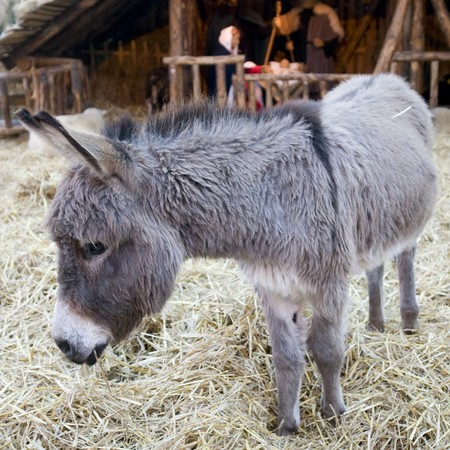 burro: Burro gris en la cuna con navidad