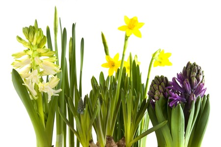 spring flowers as hyacinths and daffodils photo