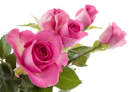 ピンクのバラは、スタジオで