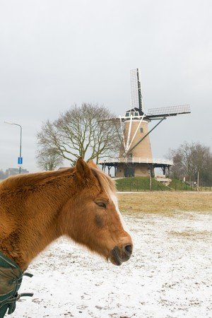 Brown horse in Dutch winter landscape photo