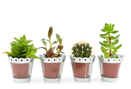 succulente o grassi vegetali e cactus isolato su bianco
