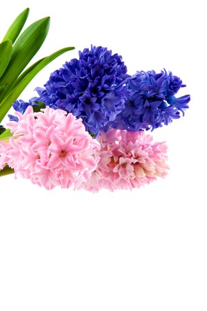 hyacinths: Pink and blue hyacinths Stock Photo