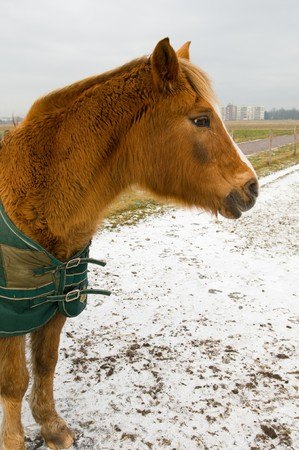 blanket horse: Brown horse in winter with blanket Stock Photo