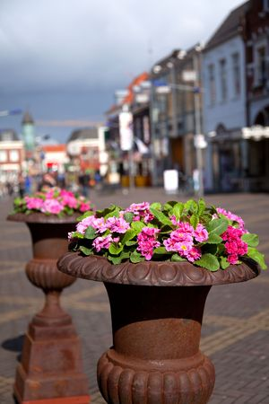 primulas: containers with primulas at the street