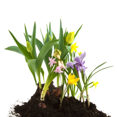 hyacinths: Garden in spring with tulips hyacinths and crocus Stock Photo