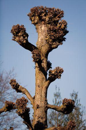 truncated: Truncated lime tree