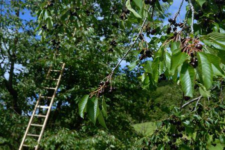 Cherry oogst in de boom gaard