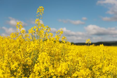 cole: yellow fields with cole seed Stock Photo