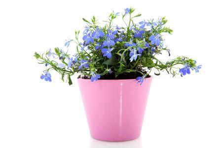 Cheerful blue lobelia in pink flower pot stock photo picture and cheerful blue lobelia in pink flower pot stock photo 4839214 mightylinksfo