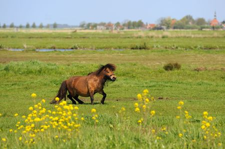 Dutch flat landscape with pony in the grass fields photo