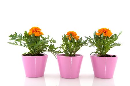 Orange Marigolds in a row with pink flower pots Stock Photo - 4880473