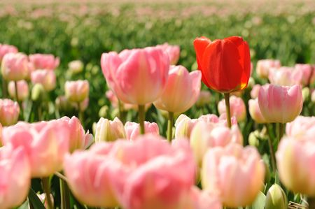 Pink tulips with one red in the fields in Holland Stock Photo - 4999032