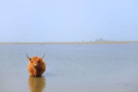 highlander: Highlander scozzese in acqua di fiume