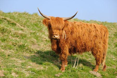 highlander: Scottish Highlander sulla diga di erba Archivio Fotografico