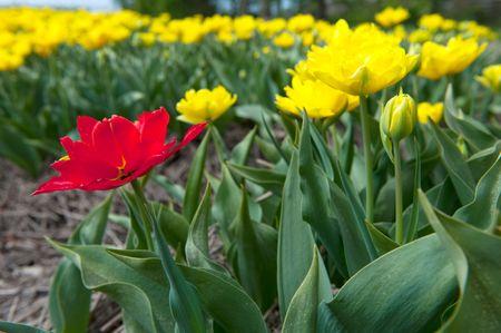 noord: Tulips in the Noord-Oostpolder in Holland landscape